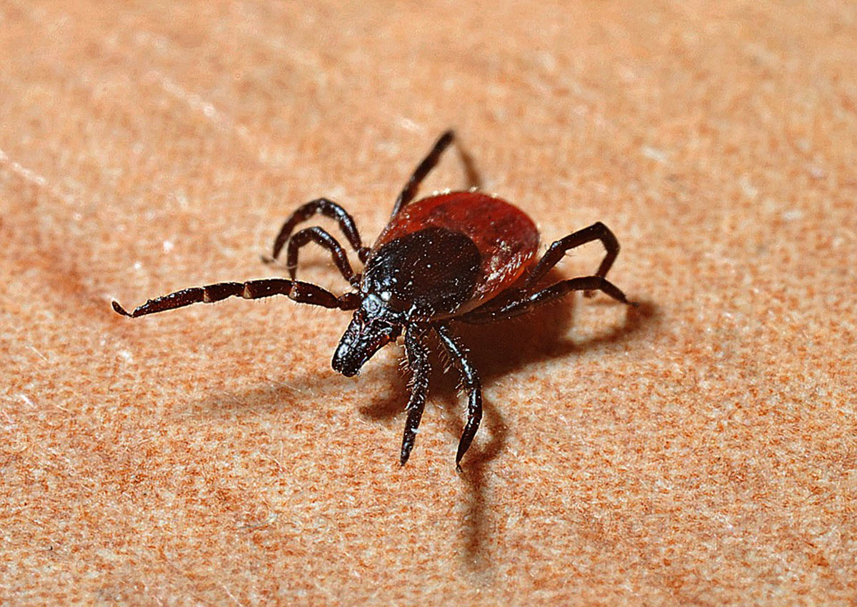 Japanese woman dies of tick disease after being bitten by sick cat