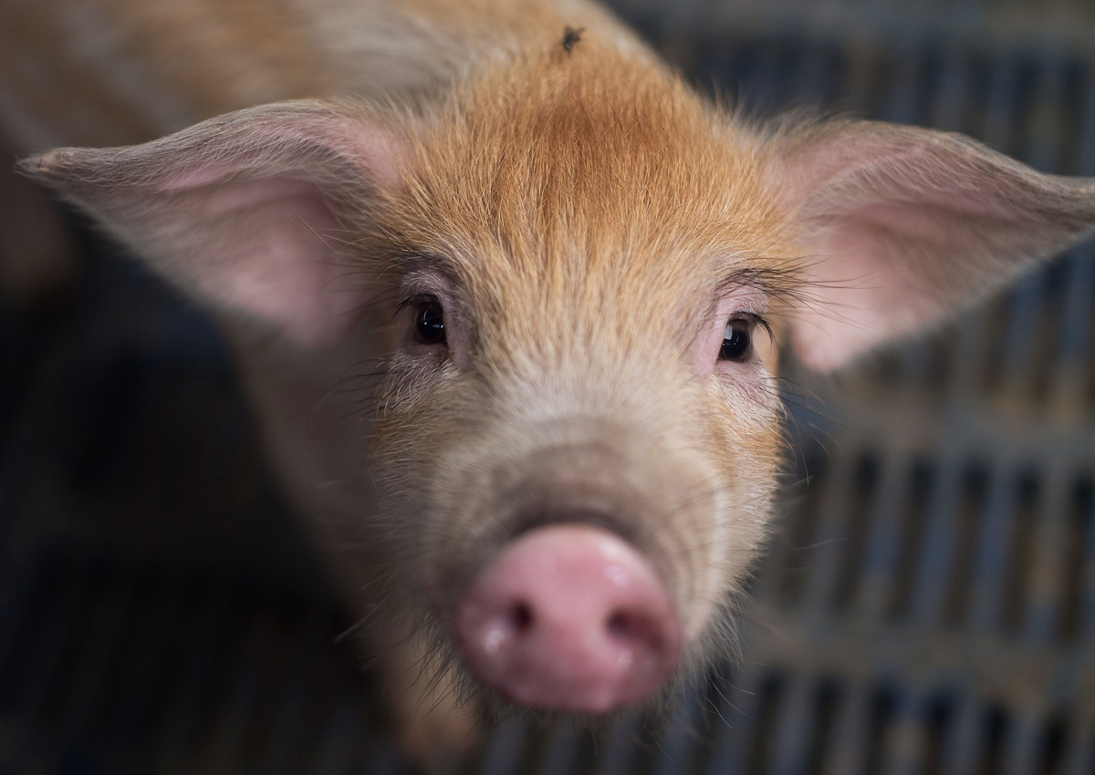 Your organ donor in the future may be a genetically modified piglet: Study