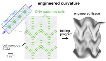 It's surprisingly easy to program living tissue to form new 3D shapes