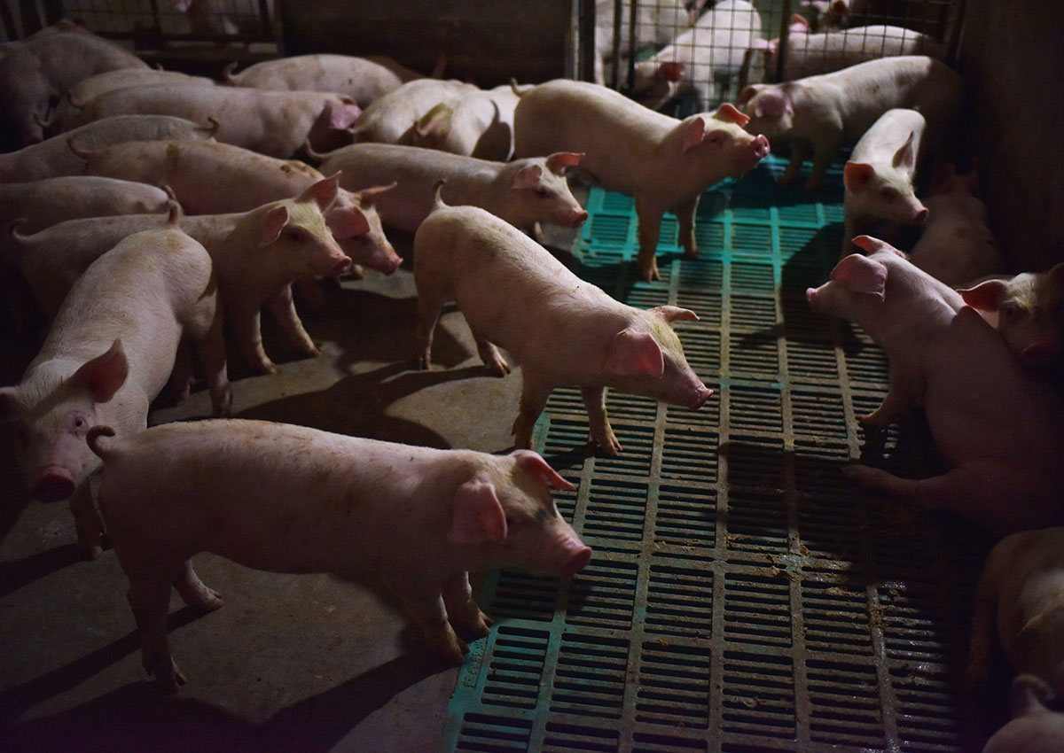 China culls 38,000 pigs as swine fever spreads